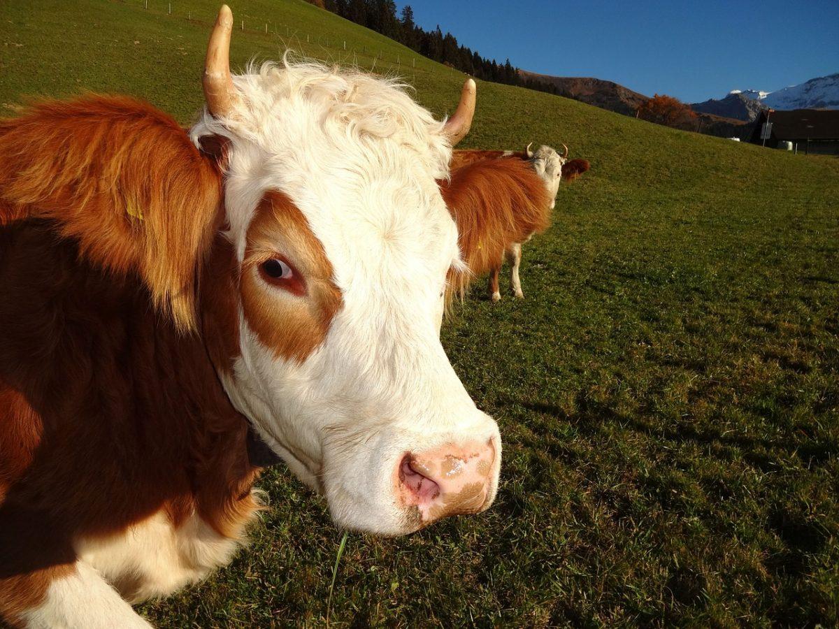 Hodowla bydła rasy simental, simentale w Polsce